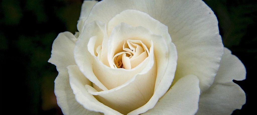 White Rose Funeral Flower