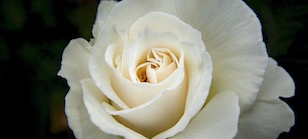 White Rose Funeral Flower Thumbnail